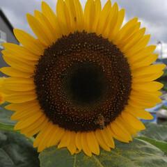 フォロー大歓迎/にゃんこ同好会/ねこのきもち/ねこ/ひまわり/梅雨/... 蒸し暑いニャー🙀💤💤💤 ミツバチさんは働…(5枚目)