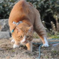 フォロー大歓迎/にゃんこ同好会/猫との暮らし/ねこのきもち/散歩/おでかけ 🙀にゃんだ⁉️ 不審物発見‼️🙀(7枚目)