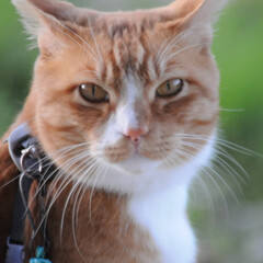 にゃんこ同好会/日暮れ/ねこのきもち/散歩/おでかけ/フォロー大歓迎 早く散歩に行かないと日がくれるニャー🙀