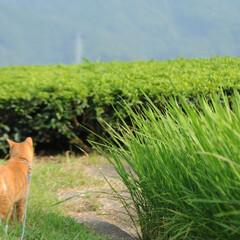 フォロー大歓迎/にゃんこ同好会/ねこのきもち/ねこ/青空/夏/... 稲の葉っぱは伸びるのが早いニャー🙀🌱🌱 …(7枚目)