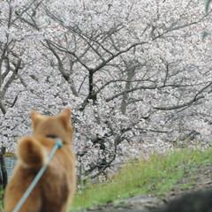 フォロー大歓迎/にゃんこ同好会/ねこにすと/ねこのきもち/春/桜/... 雨が上がったから今日も桜を見ながら散歩し…