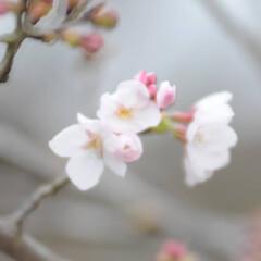フォロー大歓迎/にゃんこ同好会/猫との暮らし/ねこにすと/ねこのきもち/散歩/... 桜が開花したニャー😻🌸🌸🌸 今日はポカポ…(2枚目)