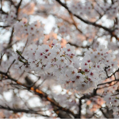 写真/さんぽ/茶トラ/ねこのきもち/LIMIAペット同好会/フォロー大歓迎/... ずっと咲いていたら良いのにニャー😻🌸😻(8枚目)
