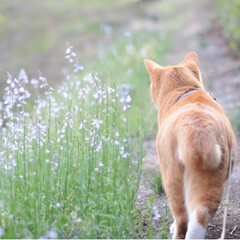 トラ/さんぽ/茶トラ/ねこのきもち/春のフォト投稿キャンペーン/フォロー大歓迎/... 春を感じるニャー🌱😸🌱(5枚目)