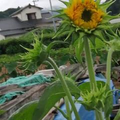 フォロー大歓迎/にゃんこ同好会/ねこのきもち/ねこ/雨/梅雨 雨降らにゃいで➿😿☔(7枚目)
