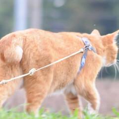 ネコ/にゃんこ/ねこのきもち/散歩/令和元年フォト投稿キャンペーン/令和の一枚/... うまそうな草いっぱい食べたニャー😸🌱😸(3枚目)