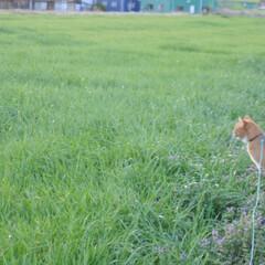 にゃんこ同好会/猫のいる暮らし/ねこのきもち/雨上がり/散歩/おでかけ/... 雨上がりは草が美味しいニャー😻🌱 また雨…