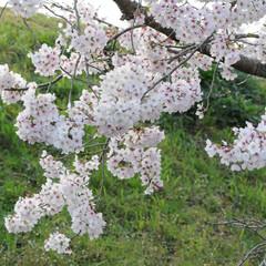 フォロー大歓迎/猫との暮らし/ねこにすと/ねこのきもち/満開/桜/... 桜が満開だニャー😸🌸🌸🌸 綺麗だニャー😻(5枚目)
