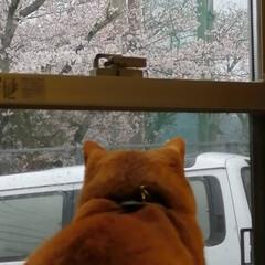 フォロー大歓迎/にゃんこ同好会/ねこのきもち/ねこにすと/桜/雨 今日は雨だにゃ😿☔ 家の中から桜を見るに…(2枚目)