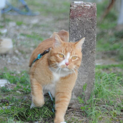 フォロー大歓迎/にゃんこ同好会/猫との暮らし/ねこにすと/ねこのきもち/晴れた/... やっと晴れたニャー😸 散歩を思い切り楽し…