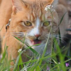 フォロー大歓迎/にゃんこ同好会/猫との暮らし/ねこのきもち/散歩/おでかけ 🙀にゃんだ⁉️ 不審物発見‼️🙀(8枚目)