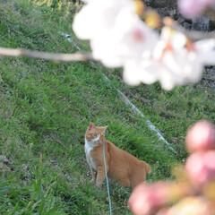 フォロー大歓迎/にゃんこ同好会/猫との暮らし/ねこにすと/ねこのきもち/散歩/... 桜の花が少しずつ開花してるニャー😻🌸🌸🌸…
