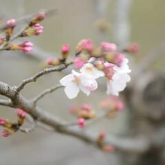 フォロー大歓迎/にゃんこ同好会/猫との暮らし/ねこにすと/ねこのきもち/散歩/... 桜が開花したニャー😻🌸🌸🌸 今日はポカポ…(3枚目)