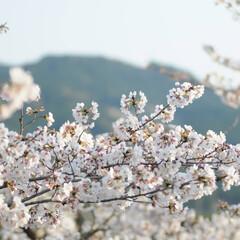フォロー大歓迎/にゃんこ同好会/猫との暮らし/ねこのきもち/ねこにすと/散歩/... 山手の桜も咲いてるニャー🌸😻 行ってみた…(8枚目)