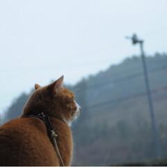 ねこのきもち/写真/ねこ/トラ/LIMIAペット同好会/ペット/... 冷たい雨が降ってるニャー☂️😽 散歩お預…