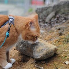 フォロー大歓迎/にゃんこ同好会/猫との暮らし/ねこのきもち/散歩/曇り空 また曇り空になっちゃったニャー😿 でも散…(4枚目)