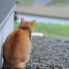 フォロー大歓迎/にゃんこ同好会/猫との暮らし/ねこにすと/ねこのきもち/雨/... 今日も雨だニャー😿☔ 寝るしかないニャー…(3枚目)