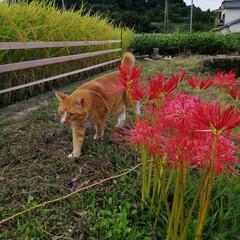 散歩/猫のいる暮らし/ねこのきもち/フォロー大歓迎 台風🌀過ぎて彼岸花も安心かにゃ😽(2枚目)