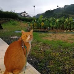 ねこのきもち/散歩/雨/フォロー大歓迎 雨が本降りだニャー😿 散歩行けないニャー😿(4枚目)