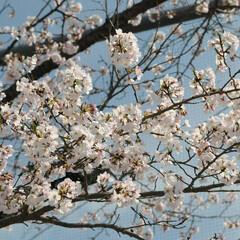 フォロー大歓迎/にゃんこ同好会/ねこにすと/ねこのきもち/晴れ/春/... 今日は天気が良くて桜も綺麗だニャー😻🌸☀…(10枚目)