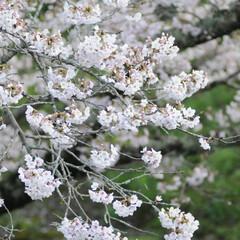 フォロー大歓迎/にゃんこ同好会/ねこにすと/ねこのきもち/春/桜/... 雨が上がったから今日も桜を見ながら散歩し…(4枚目)