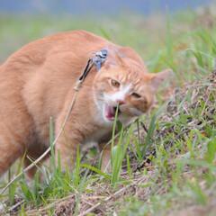 ネコ/にゃんこ/ねこのきもち/散歩/令和元年フォト投稿キャンペーン/令和の一枚/... うまそうな草いっぱい食べたニャー😸🌱😸
