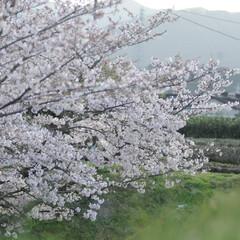 フォロー大歓迎/にゃんこ同好会/ねこにすと/ねこのきもち/春/桜/... 雨が上がったから今日も桜を見ながら散歩し…(3枚目)