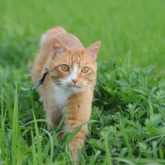 フォロー大歓迎/にゃんこ同好会/ねこのきもち/ねこ/草/散歩 草が伸びるの早いニャー🌱😸 緑色は落ち着…