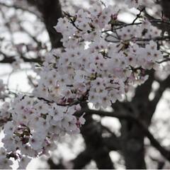 茶トラ/さんぽ/LIMIAペット同好会/フォロー大歓迎/ペット/ペット仲間募集/... 🌸春が来たニャー🌸😻😻😻(3枚目)