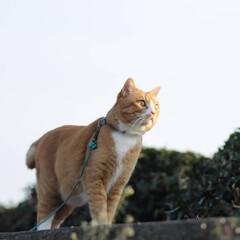 フォロー大歓迎/にゃんこ同好会/猫との暮らし/ねこのきもち/ねこにすと/散歩/... 桜を横目に楽しく散歩したニャー😻🌸😻🌸😻…