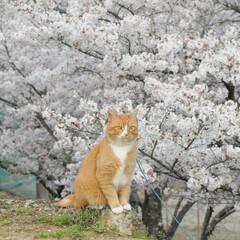 フォロー大歓迎/猫との暮らし/ねこにすと/ねこのきもち/満開/桜/... 桜が満開だニャー😸🌸🌸🌸 綺麗だニャー😻
