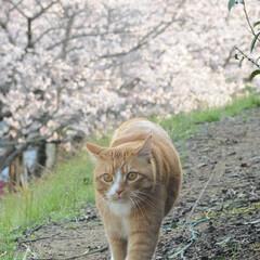 フォロー大歓迎/にゃんこ同好会/ねこにすと/ねこのきもち/春/桜/... 雨が上がったから今日も桜を見ながら散歩し…(10枚目)