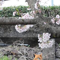フォロー大歓迎/猫との暮らし/ねこにすと/ねこのきもち/満開/桜/... 桜が満開だニャー😸🌸🌸🌸 綺麗だニャー😻(7枚目)