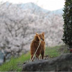 茶トラ/さんぽ/LIMIAペット同好会/フォロー大歓迎/ペット/ペット仲間募集/... 🌸春が来たニャー🌸😻😻😻
