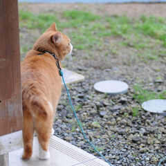 フォロー大歓迎/にゃんこ同好会/猫との暮らし/ねこのきもち/ねこにすと/雨/... 散歩行こうとしたら雨が降ってきたニャー😿…(5枚目)