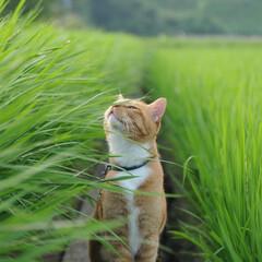 フォロー大歓迎/にゃんこ同好会/ねこのきもち/ねこ/青空/夏/... 稲の葉っぱは伸びるのが早いニャー🙀🌱🌱 …