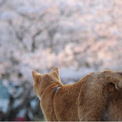 写真/さんぽ/茶トラ/ねこのきもち/LIMIAペット同好会/フォロー大歓迎/... ずっと咲いていたら良いのにニャー😻🌸😻(7枚目)