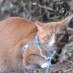 にゃんこ同好会/猫のいる暮らし/ねこのきもち/雨上がり/散歩/おでかけ/... 雨上がりは草が美味しいニャー😻🌱 また雨…(7枚目)