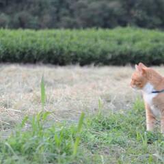 にゃんこ/ねこのきもち/散歩/秋/稲刈り/おでかけ/... 稲刈りが始まったニャー😸 🐸さん たくさ…