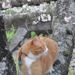フォロー大歓迎/猫との暮らし/ねこにすと/ねこのきもち/満開/桜/... 桜が満開だニャー😸🌸🌸🌸 綺麗だニャー😻(6枚目)