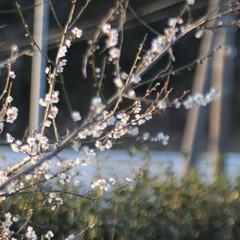 フォロー大歓迎/にゃんこ同好会/猫との暮らし/ねこのきもち/梅の花/散歩/... 梅の花の良い香りがするニャー😽😽😽 今日…(6枚目)