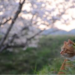 写真/さんぽ/茶トラ/ねこのきもち/LIMIAペット同好会/フォロー大歓迎/... ずっと咲いていたら良いのにニャー😻🌸😻(3枚目)