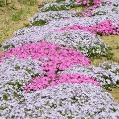 フォロー大歓迎/桜/芝桜/公園 芝桜もいいね👍