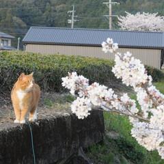 フォロー大歓迎/にゃんこ/ねこにすと/ねこのきもち/散歩/桜/... 今日もお花見しながら散歩だニャー😻🐾🐾😸…