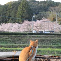 フォロー大歓迎/にゃんこ同好会/猫との暮らし/ねこのきもち/ねこにすと/散歩/... 山手の桜も咲いてるニャー🌸😻 行ってみた…(2枚目)