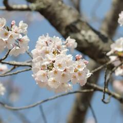 フォロー大歓迎/にゃんこ同好会/ねこにすと/ねこのきもち/晴れ/春/... 今日は天気が良くて桜も綺麗だニャー😻🌸☀…(8枚目)
