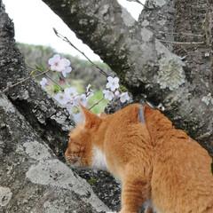 フォロー大歓迎/猫との暮らし/ねこにすと/ねこのきもち/満開/桜/... 桜が満開だニャー😸🌸🌸🌸 綺麗だニャー😻(3枚目)