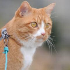にゃんこ同好会/猫との暮らし/ねこのきもち/散歩/おでかけ まだ散歩したいニャー😿 帰らないニャー😽…(2枚目)