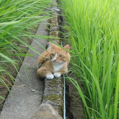 フォロー大歓迎/にゃんこ同好会/ねこのきもち/ねこ/青空/夏/... 稲の葉っぱは伸びるのが早いニャー🙀🌱🌱 …(2枚目)