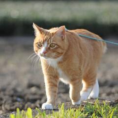 フォロー大歓迎/にゃんこ同好会/猫との暮らし/ねこのきもち/ねこにすと/散歩/... 山手の桜も咲いてるニャー🌸😻 行ってみた…(4枚目)